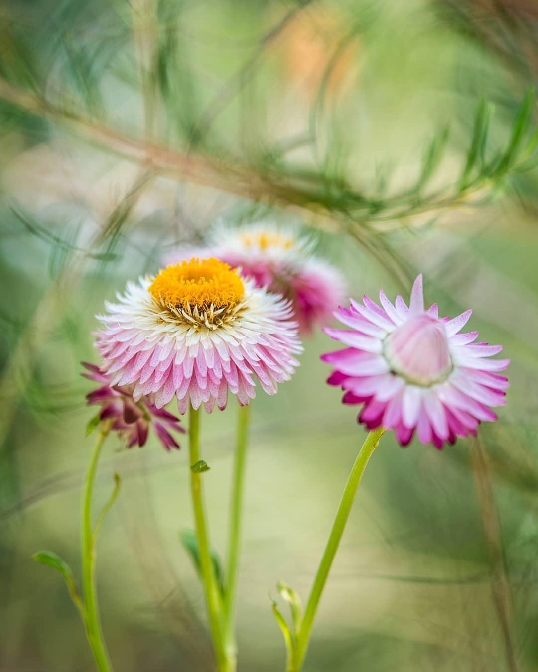 Everlasting Flower - Stunning Photo from Kew Gardens by Ines Stuart-Davidson